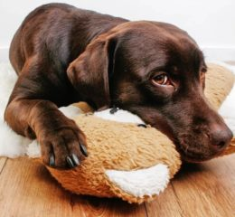 Малассезия у собак: что это, лечение и профилактика заболевания, препараты