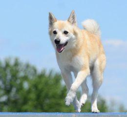 Красивая и умная порода собак - Норвежская лайка или бухунд