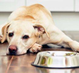 Как лечить панкреатит у собак: виды и симптомы заболевания, разрешенные препараты