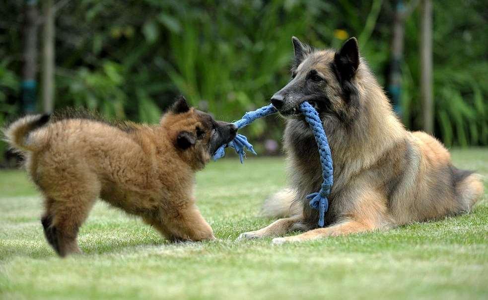 Тервюрен щенок с мамой