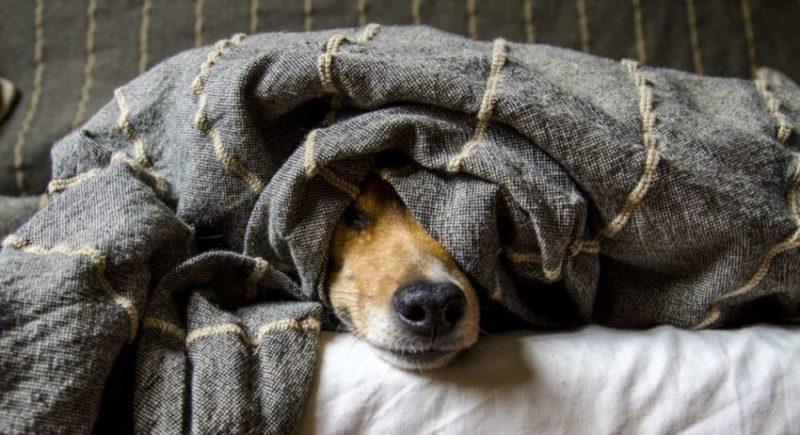 собака заболела коронавирусом